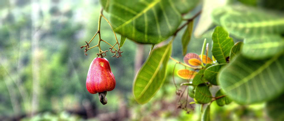 cashew-apple